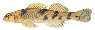 Maryland Darter